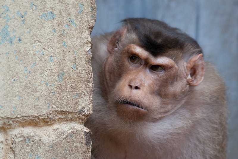 A pigtail macaque shows its 'game face.' Credit: A.J. Haverkamp