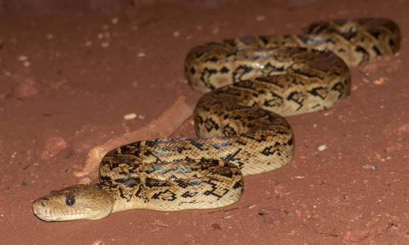 A new UT study by Vladimir Dinets shows that some snakes coordinate their hunts to increase their chances of success. He studied the Cuban boa, pictured. Credit: Vladimir Dinets