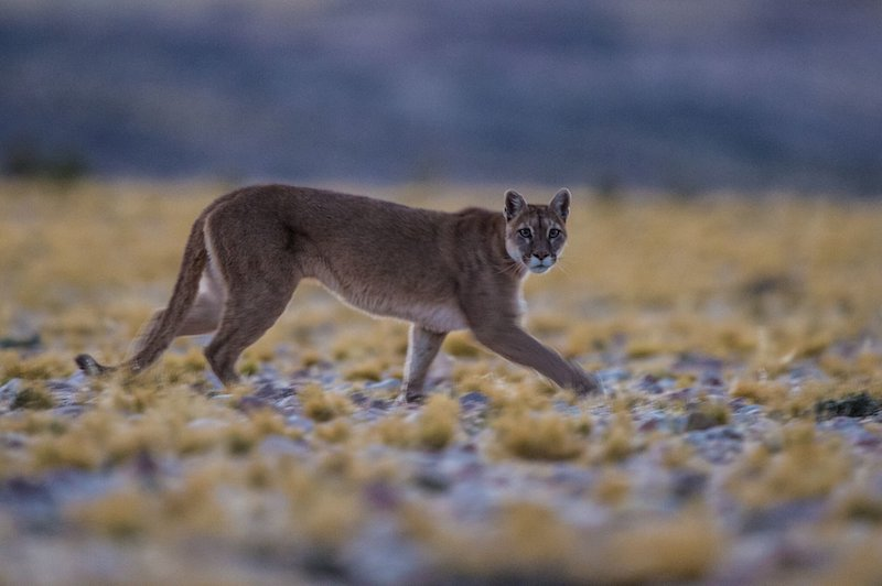 Large predators are being found in places they haven't been seen before, like on beaches and in backyards. They are rebounding from near-extinction and spreading out, says Duke research. Credit: Brian Silliman, Duke University
