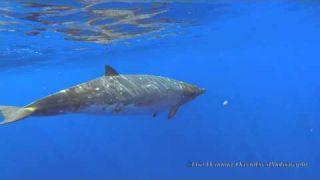 Blainville's Beaked Whales -Jan 26 2015_(Short Version)